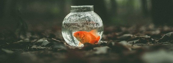Image of goldfish in a bowl